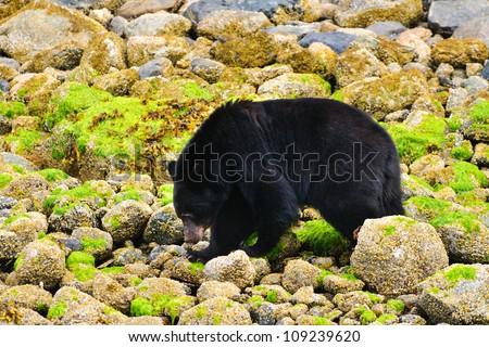 Wild Black Bears feeding on the shoreline of the Pacific Ocean, Tofino British Columbia, Canada