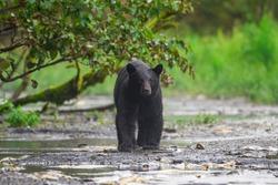 wild black beat fishing in Alaska