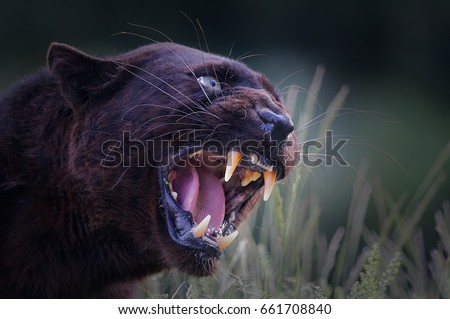 Wild black panther close up - aggressive - hiss - fangs - big cat