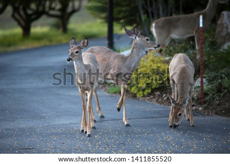 Wild Black Tail Deer. Wild Black Tail Deer eat corn left for them by an Animal Lover.