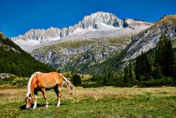 Wild blonde horse in Val di Fumo. Dolomites landscape under blue summer sky with mountain in the background. Italian unesco mountain. Beautiful trentin view. Calm horse. Wilderness