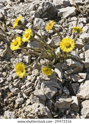 Wild blossoming coltsfoot on stony ground in the early spring