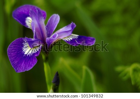 Wild, blue flag iris blossom in vivid color with unfocused background and copy space to right;  Location is Canada, province of Newfoundland and Labrador, at Cape St. Mary's Ecological Reserve;