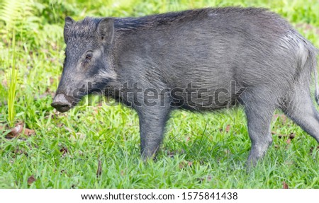 Wild boar a wild mammal commonly seen in Indian Forests #1575841438
