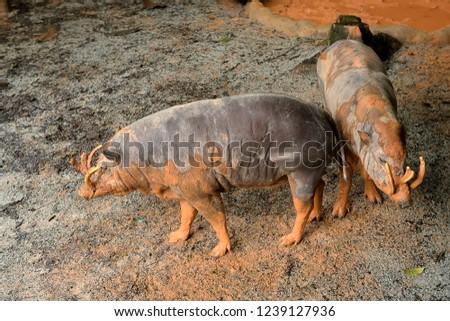 Wild boar, also wild pig (Sus scrofa)