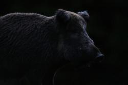 Wild boar contour in black background