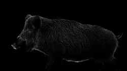 Wild boar contour isolated on black background. Feral pig contour.