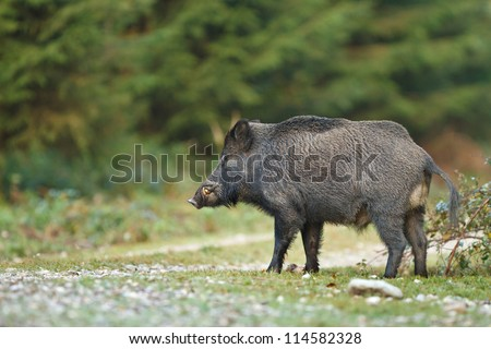 Wild boar crossing forest path, male with tusks