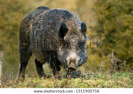 Wild boar in forest #1311900758