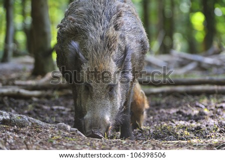 Wild boar in the forest. (Sus scrofa).