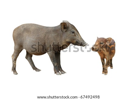 wild boar isolated