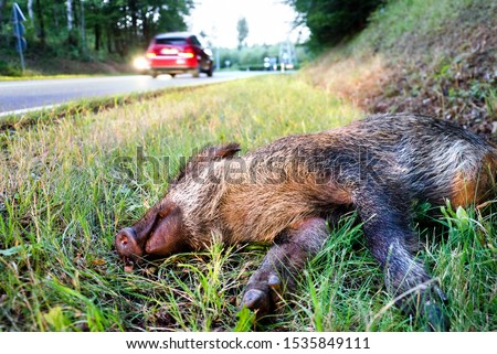 Wild boar lying deadly hit by an automobile at the road side, car accident  Photo stock ©