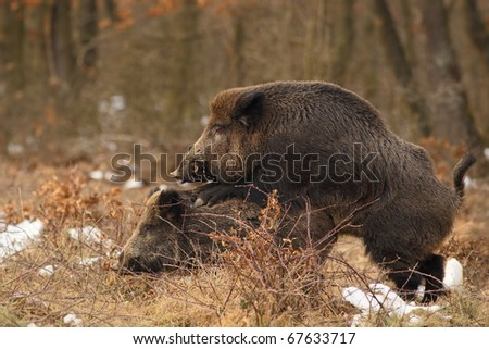 Wild boar mating
