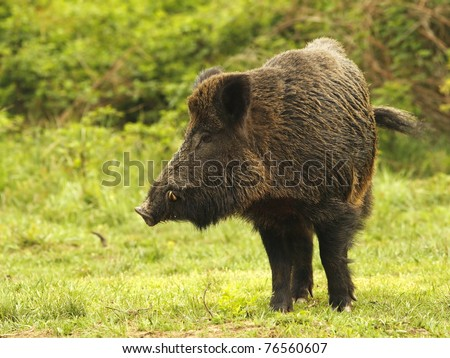 Wild boar on a opening, before a thicket (Sus scrofa).