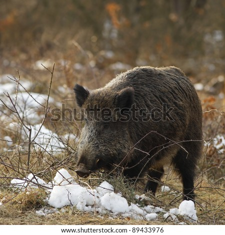 Wild boar on a snowy clearing