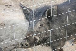 wild boar on the eco farm