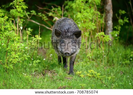 Wild boar on the forest in summer time #708785074