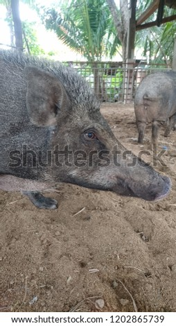 wild boar or wild pig (Sus scrofa) in the farm