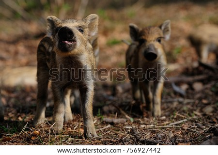 Wild boar piglets  in the forest, spring,  (sus scrofa) #756927442
