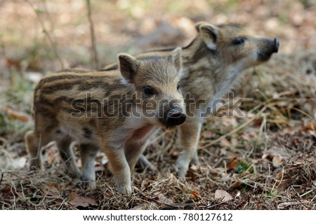 Wild boar piglets in the forest, spring, (sus scrofa)