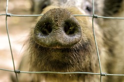 Wild boar's dirty snout behind metal mesh, close-up, blurred background