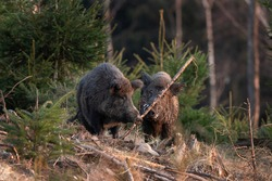 Wild boar searching for food. European nature. Common wild pig during spring season. Nature in the forest.
