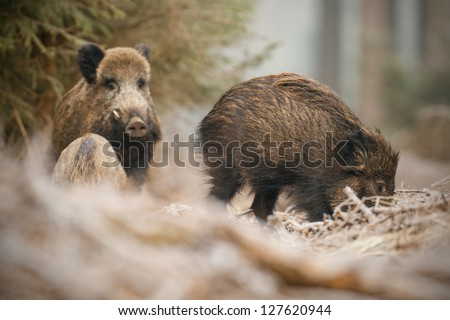 Wild boar sounder taken at low angle in Bavaria