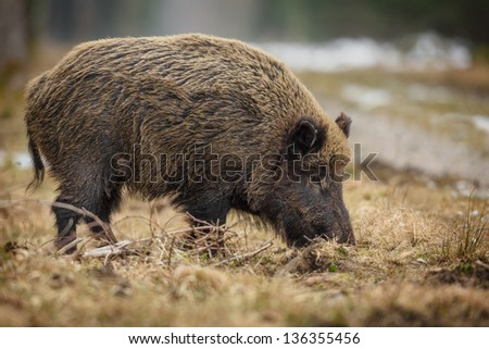 Wild boar sow foraging in winter at the edge of a forest, Germany