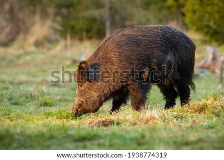 Wild boar standing on grassland in spring sunlight Photo stock ©