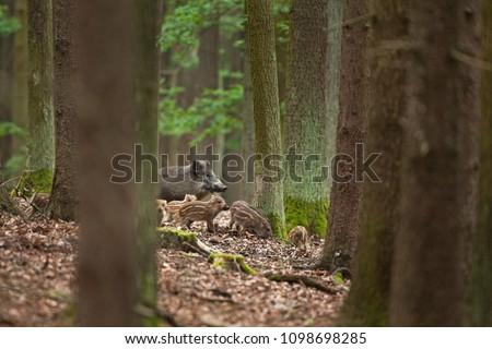wild boar, sus scrofa #1098698285