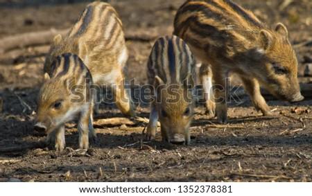 Wild boar (Sus scrofa) #1352378381