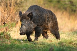 Wild boar, sus scrofa,Big adult wild boar looking for food.Big wild boar in natural environment