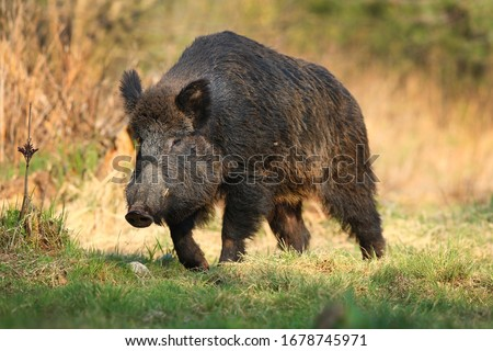 Photo of  Wild boar, sus scrofa,Big adult wild boar looking for food.Big wild boar in natural environment