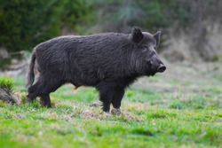 wild boar,Sus scrofa,big boar looking for food , capital boar