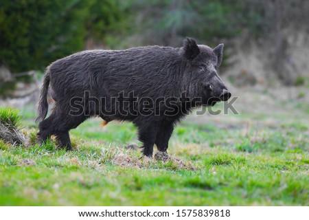 Photo of  wild boar,Sus scrofa,big boar looking for food , capital boar