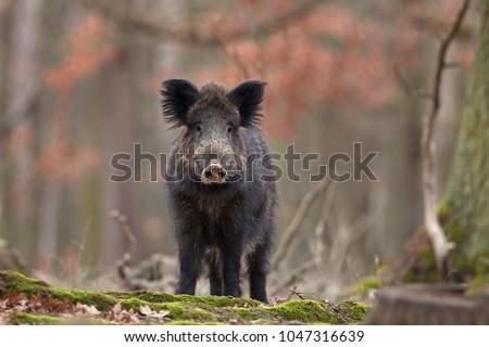 wild boar, sus scrofa, Czech republic #1047316639