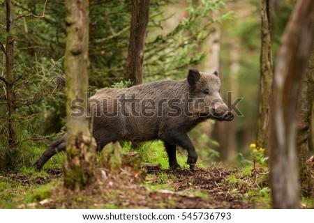 wild boar, sus scrofa, czech republic Photo stock ©