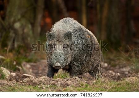 wild boar, sus scrofa, Czech republic #741826597
