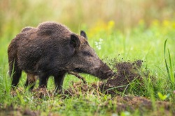 Wild boar, sus scrofa, digging in the ground with snout and throwing mud away on meadow in summer nature. Mammal with long dark fur searching for food on a field with green grass.