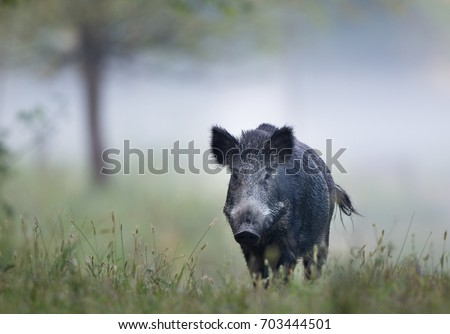 Wild boar (sus scrofa ferus) walking in forest on foggy morning and looking at camera. Wildlife in natural habitat #703444501