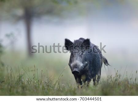 wild boar  sus scrofa ferus ...