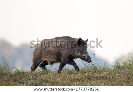 Photo of  Wild boar (sus scrofa ferus) walking on meadow in late summer time. Wildlife in natural habitat