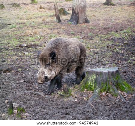 Wild boar (Sus scrofa) in the wild nature in Belovezhsky more