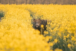 Wild boar ( Sus scrofa ) in wild nature during spring morning in oilseed rape. Usefull for hunting magazines or news. Colorulf picture of wild animal.