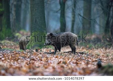 Wild boar (sus scrofa) in winter deciduous forest. #1014078397