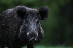 wild boar (Sus Scrofa) portrait in the forest late in the evening. Feral pig portrait.