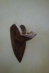 Wild Boar tusks on a dark wooden mount