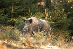Wild boar walk in the forest. Calm wild boar. European wildlife. Strong wild boar in nature