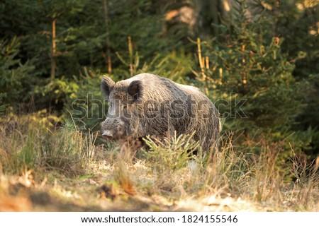 Wild boar walk in the forest. Calm wild boar. European wildlife. Strong wild boar in nature Photo stock ©