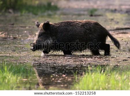 Wild boar walks in shallow water